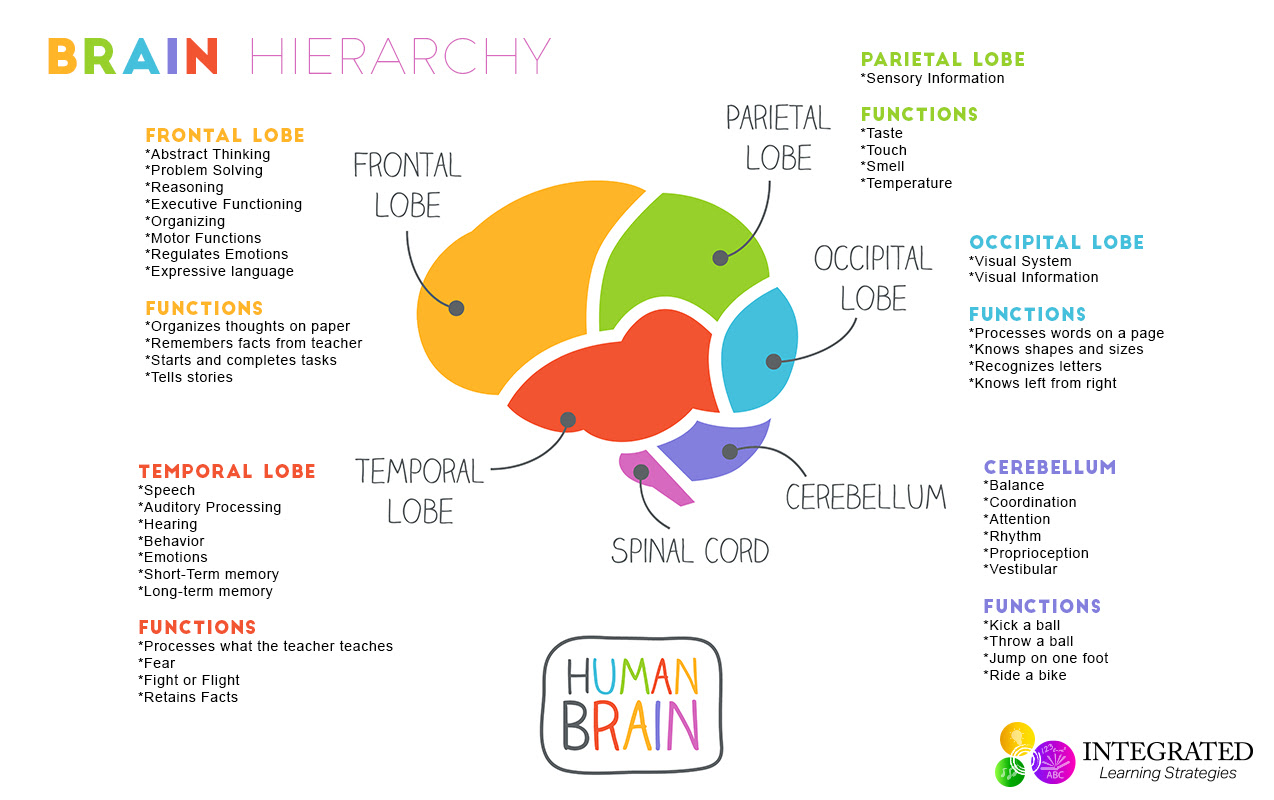 brain hierarchy learning levels 1274x800