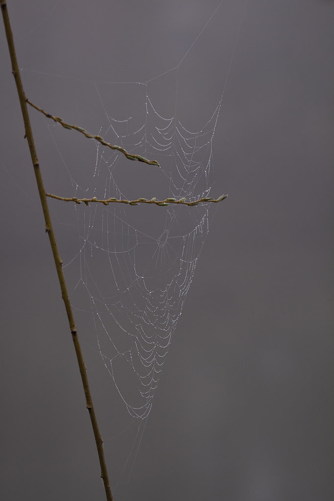web drops on willow