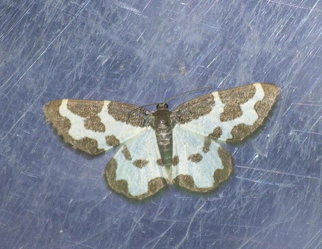 Clouded Border moth DSC_4120
