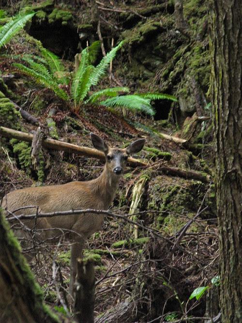 deer looking at me, Kasaan, Alaska