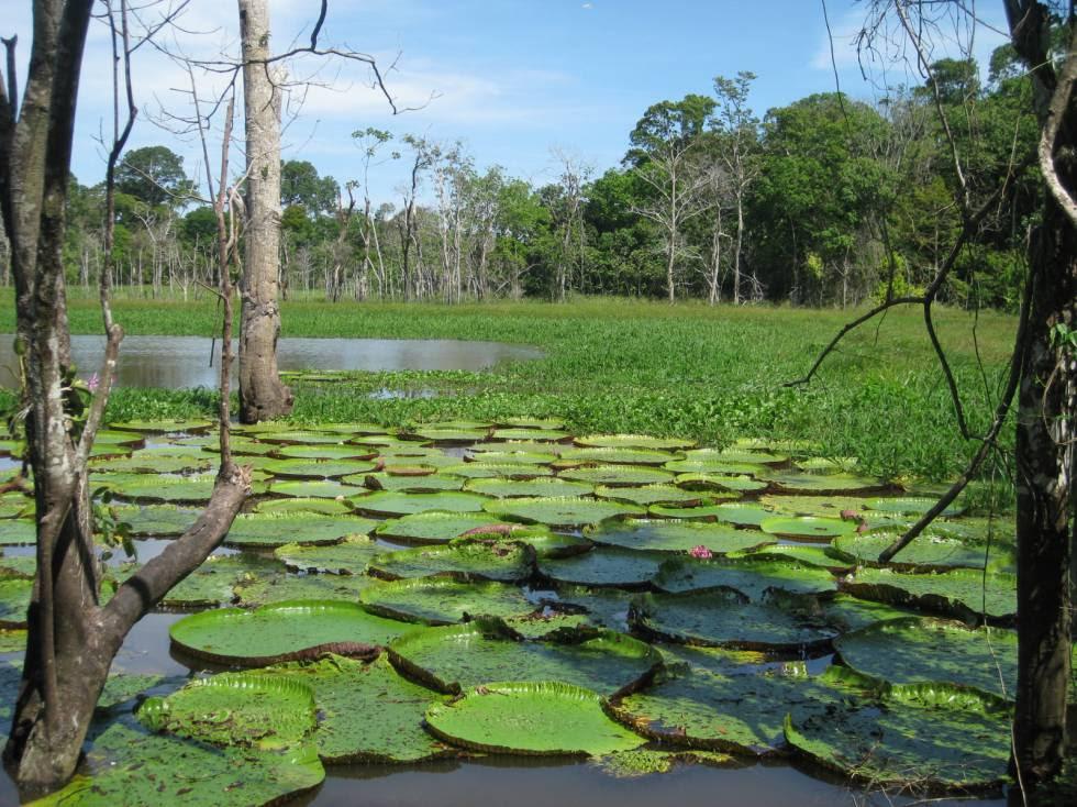 Los bosques de várzea donde crece la 'Victoria amazonica' depende de las inundaciones estacionales del Amazonas.