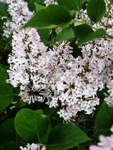 DSCN1298 Miss Kim Lilac blooms