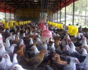 Bisnis ternak ayam pejantan sudah tidak asing bagi para peternak ayam 13 Cara Ternak Ayam Pejantan Sukses