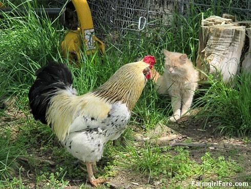 Jasper meets Rooster Andy (3) - FarmgirlFare.com
