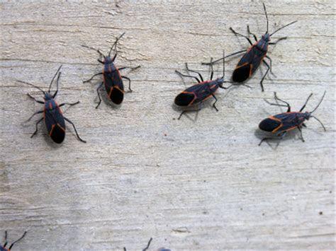 The Pest Specialist: Boxelder Bugs
