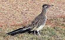 Geococcyx californianus.jpg