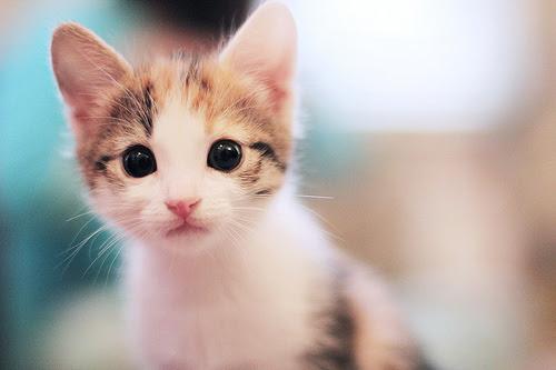 Unduh 89+  Gambar Kucing Imut Buat Wallpaper Paling Keren Gratis