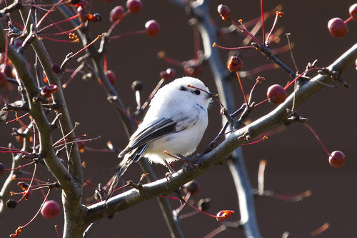 """Leucistic"" Black-capped Chickadee"