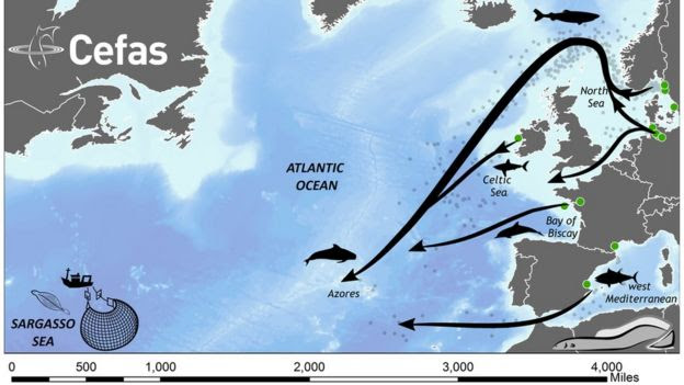 Eel migration routes to the Sargasso Sea