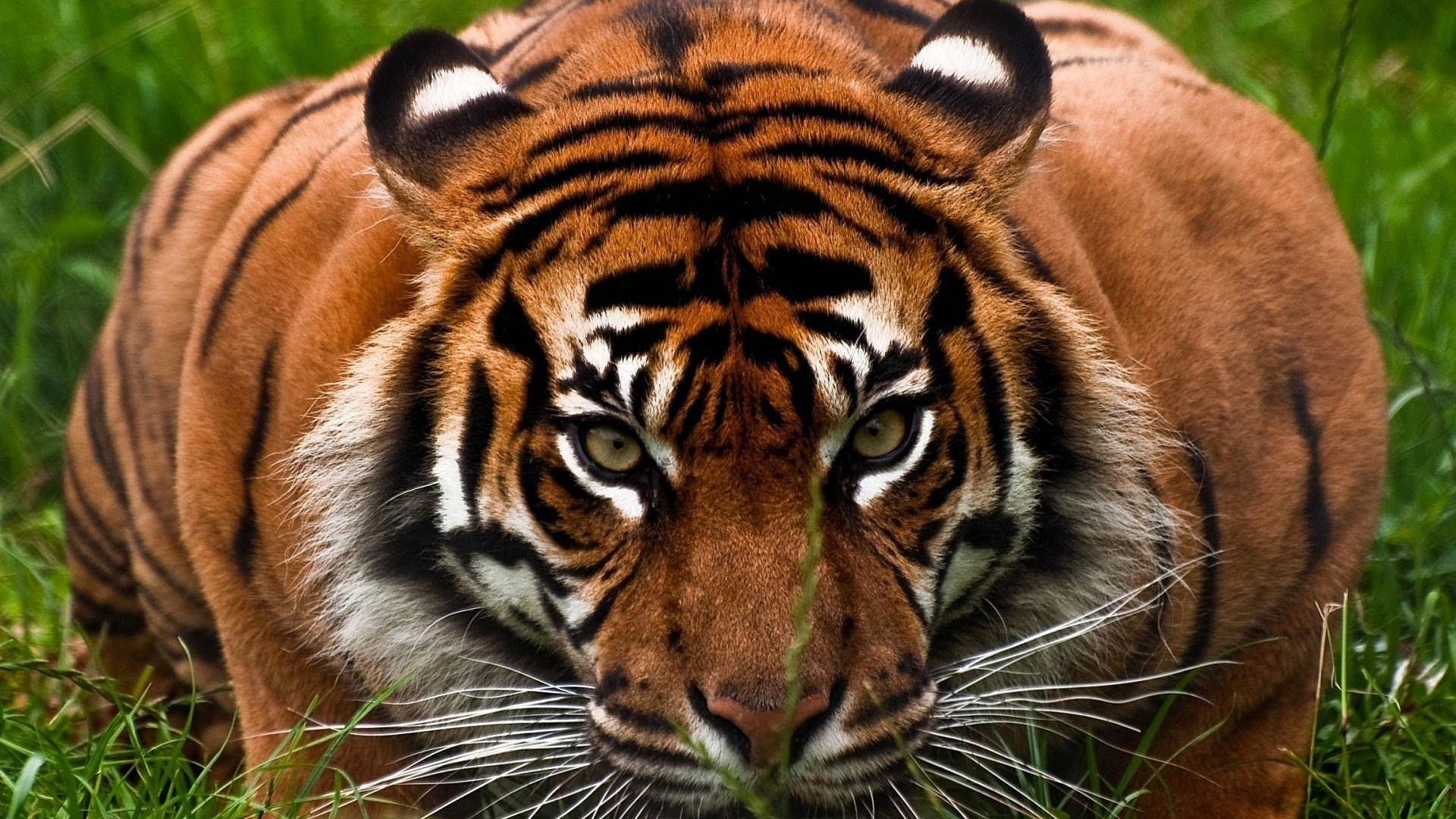 95+ Gambar Wallpaper Harimau Hd Terlihat Keren