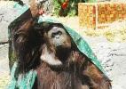 Justiça argentina reconhece direito de orangotango viver em semi-liberdade  (Foto: Reprodução)