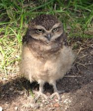 burrowingowl