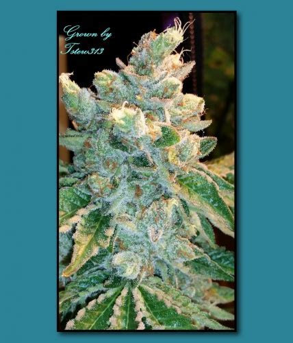 Triangle Mints from Seed Junky Genetics   strains.io