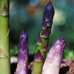 asparagus color inspiration #purple #green #asparagus