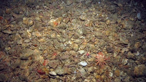 Survey image from Offshore Brighton MCZ, showing common brittlestars (Ophiothrix fragilis) and common sunstar (Crossaster papposus) on subtidal mixed sediments
