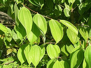 Leaves of Cinnamon, Pithoragarh, Himalayas, India