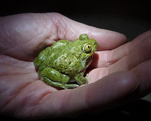 the delightful spadefoot toad