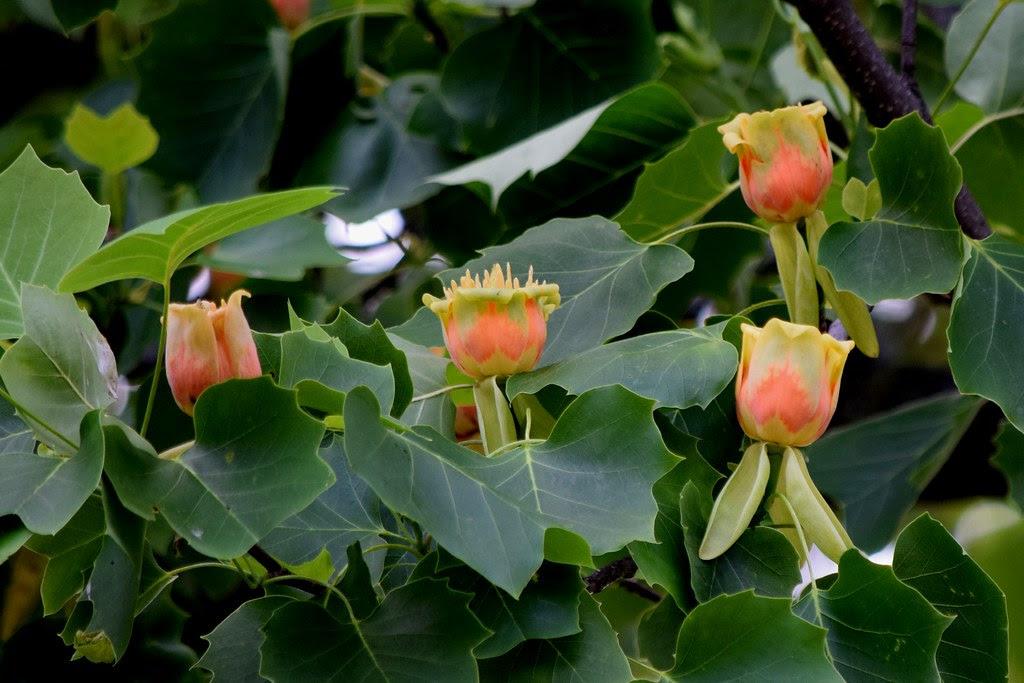 Tulip Tree In Bloom Dundas Canada Scientific Name Of The Flickr