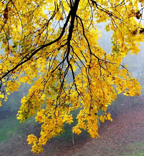 Yellow-Curtain