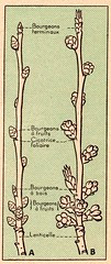 cerisier 2