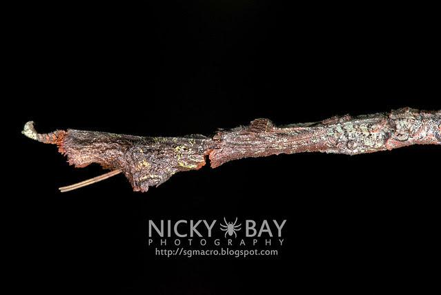 Stick Insect (Phasmatodea) - DSC_8886