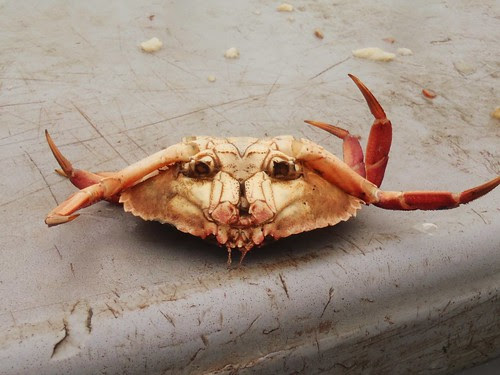 upside down crab face