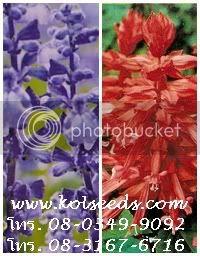 ดอกซัลเวียแดง ดอกบลูซัลเวีย