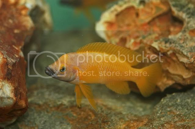 Neolamprologus leleupi 'black throat' (Benoit)