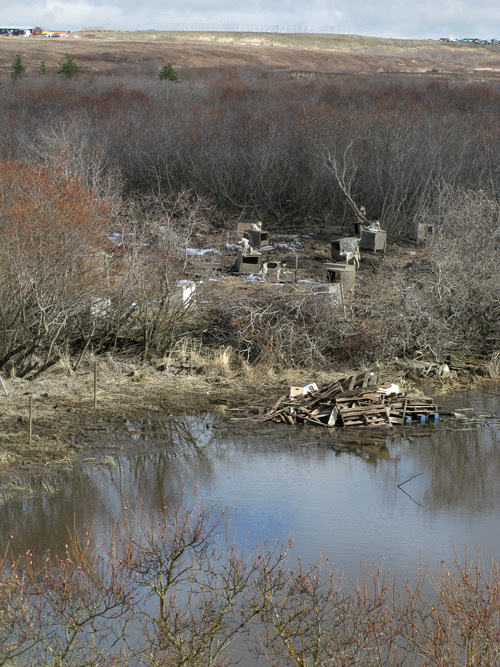 dogs and Brown Slough in Bethel, Alaska