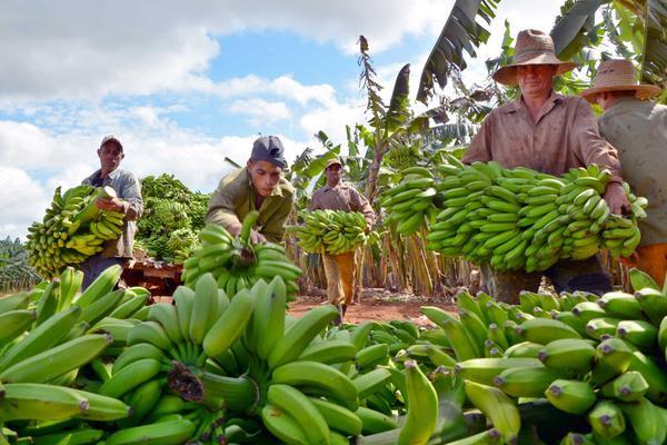 Bananeros de Ciego de Ávila