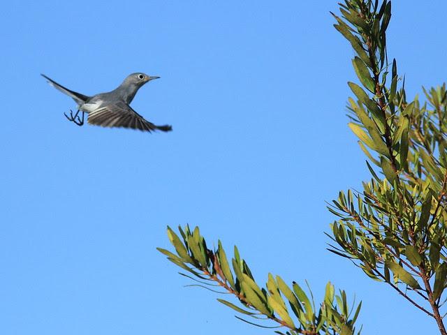 Blue-gray Gnatcatcher 20121201