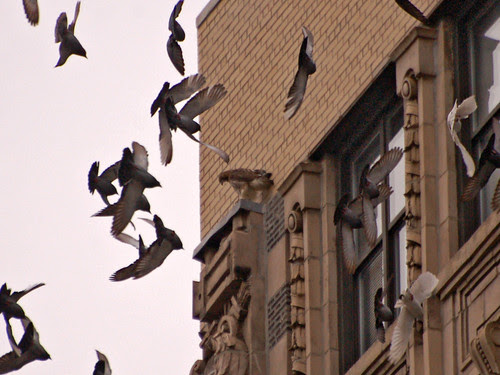 110th St Hawk and Potential Prey