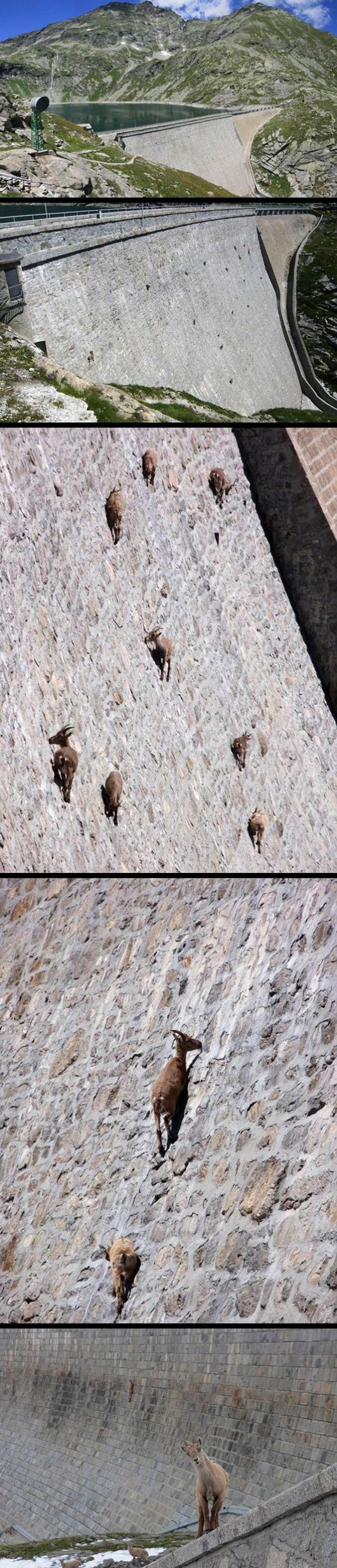 Perierga.gr - Κατσίκες σε φράγμα