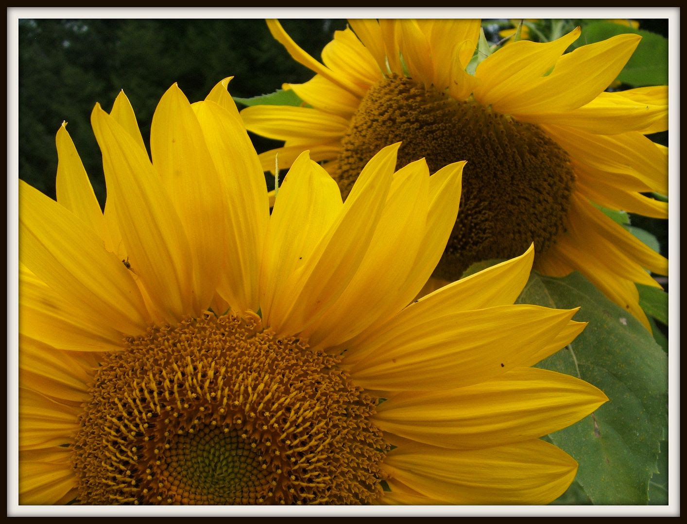 Giant Gray Stripe Sunflower by Angie Ouellette-Tower for godsgrowinggarden.com photo 001_zps38410cd8.jpg