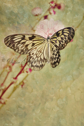 Paper Kite Butterfly on Pink Peach Blossom by *GloriousNature*bySusanGaryPhotography