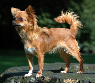 A Hairy Chihuahua which made me laugh a lot yesterday.  Photo By: Bonnie van den Born at http://www.bonfoto.nl CC-BY-SA 3.0