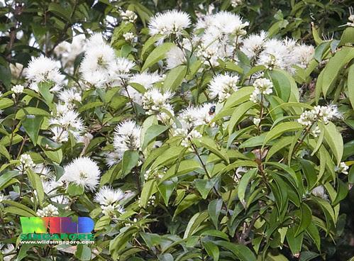 Kelat nasi nasi (Syzygium zeylanicum)