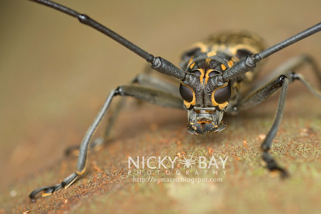 Longhorn Beetle (Epepeotes luscus) - DSC_2651