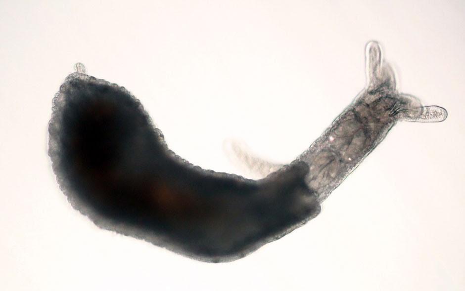 molusco-gastrópode_aa (Foto: Cebimar/USP)