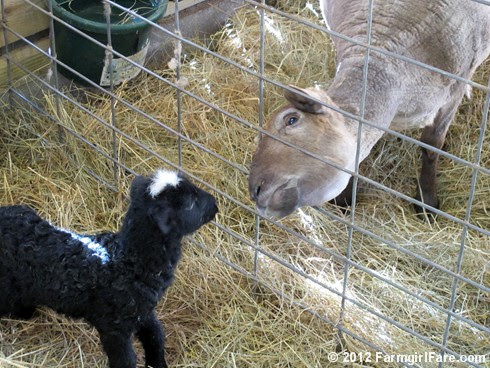 Monday morning lambing 2 - FarmgirlFare.com