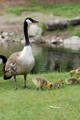 goslings5