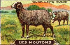 mouton 2