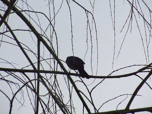 Bird in our Willow Tree