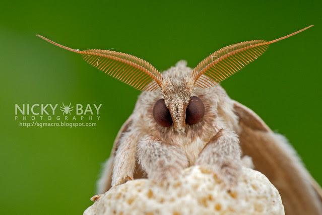 Puppy Moth - DSC_6670