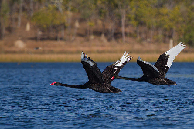 Black Swans in flight