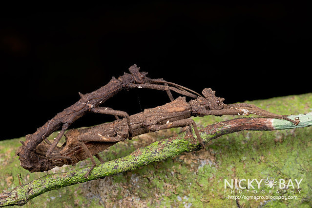 Stick Insects (Phasmatodea) mating - DSC_3775