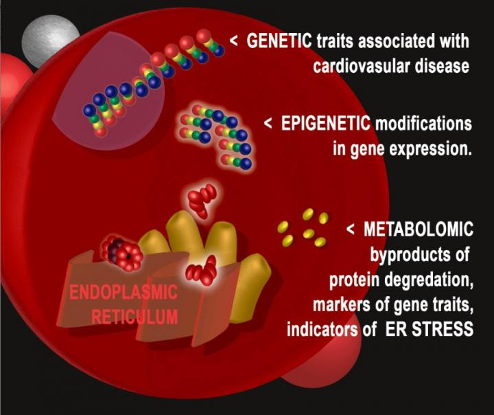 Cellular stress process identified in cardiovascular ...