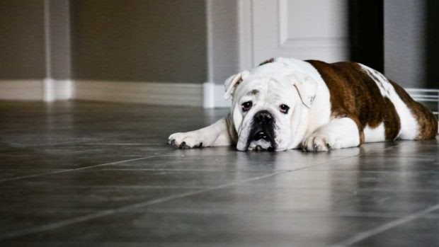 El mejor tratamiento para tu perro con sobrepeso