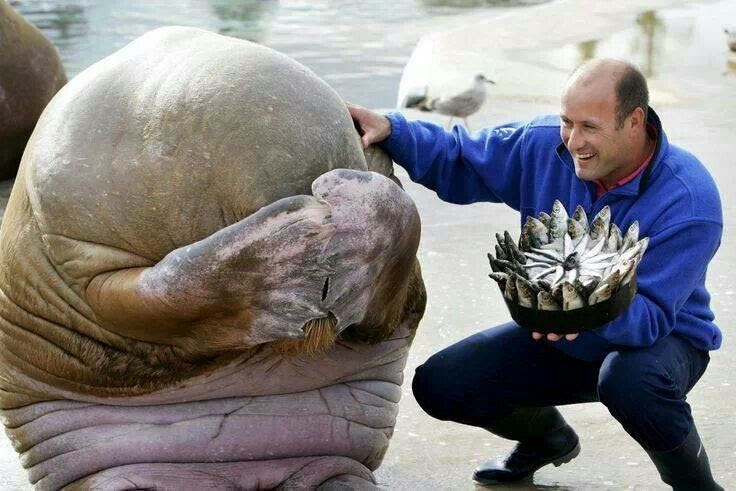 Walrus surprised with a birthday cake, walrus cake, walrus zoo, walrus birthday