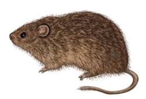 Cotton Rat Facts & Control: How to Get Rid of Cotton Rats